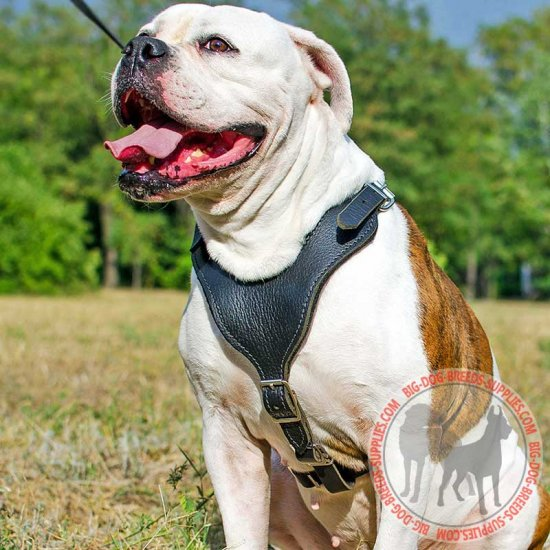 Padded Leather American Bulldog Harness for Agitation Work