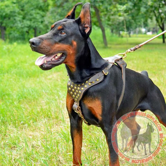 Studded Leather Doberman Harness for Walking and Training