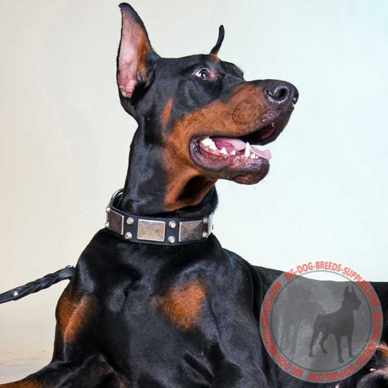 Leather Doberman Collar with Vintage Nickel Plates and Studs