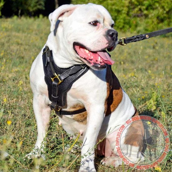Leather American Bulldog Harness with Y-Shape Padded Chest Plate for Agitation Training