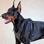Studded Doberman Leather Harness for Everyday Walking