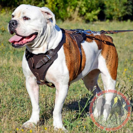 Adjustable Leather American Bulldog Harness for Agitation Training