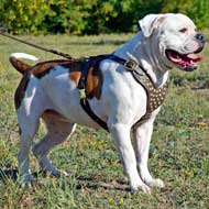 Leather American Bulldog Harness with Brass Studs for Walking