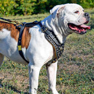 Studded leather American Bulldog Harness with Nappa Padded Chest Plate