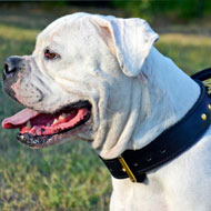 Leather American Bulldog Collar with Handle for Walking and Training