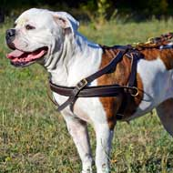 Leather American Bulldog Harness for Pulling Tracking Training and Walking