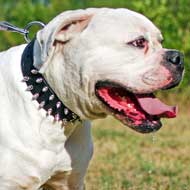 Nickel Spiked Leather American Bulldog Collar for Daily Walking