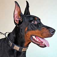 Walking in Style Leather Doberman Collar with Nickel Plates