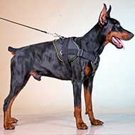 All Weather Nylon Doberman Harness for Pulling, Tracking, Training, Walking