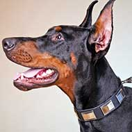 Leather Doberman Collar Decorated With Nickel Plates