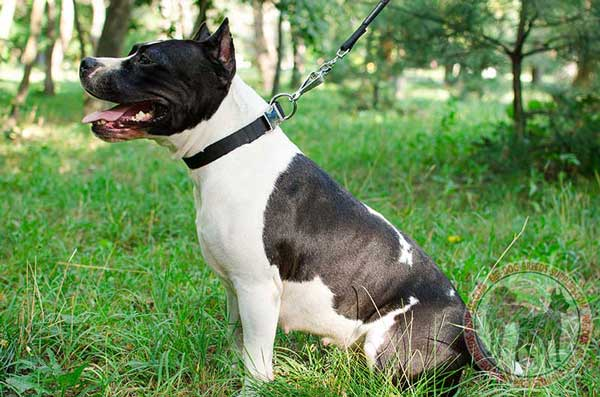 Amstaff Nylon Collar with Easily Adjustable Quick Release Buckle