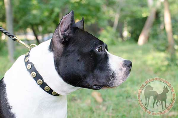 Leather Collar for Amstaff with Solid Circles