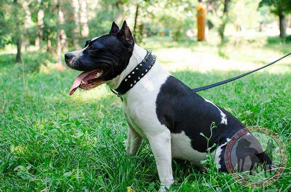 Amstaff nylon collar for better handling