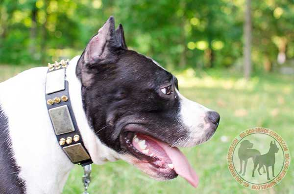 Amstaff collar stylish and glamourous