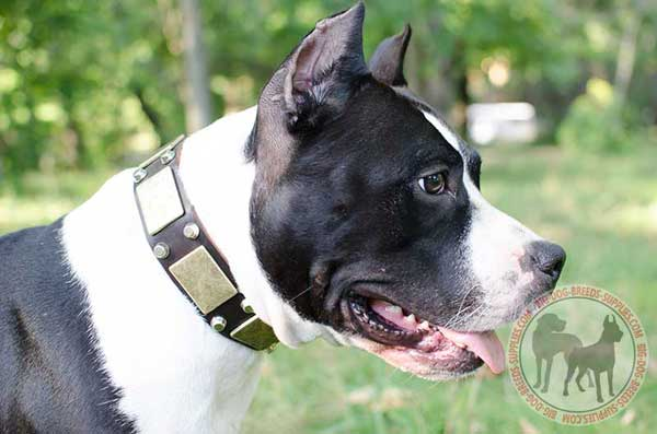 Amstaff collar with hand-set decoration
