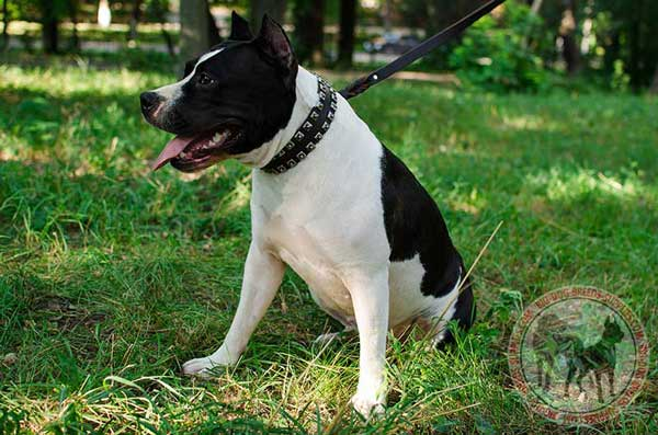 Collar with studs leather for Amstaff breed
