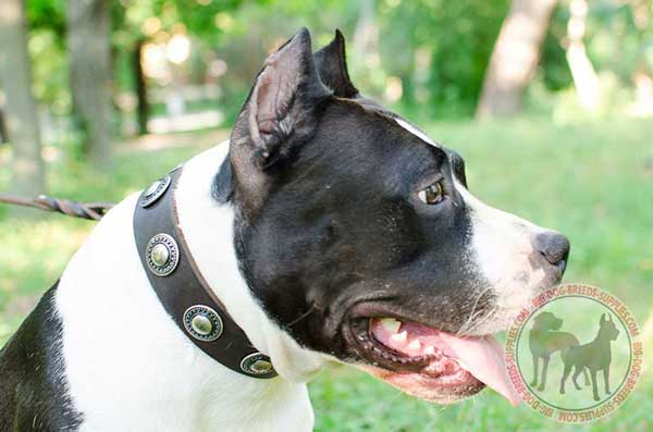 Leather Collar for Amstaff Walking