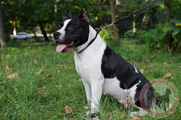 Amstaff choke collar handcrafted for training