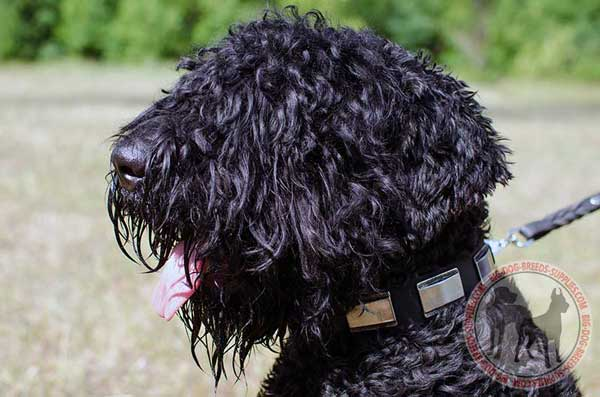 Black Russian Terrier collar with nickel plates