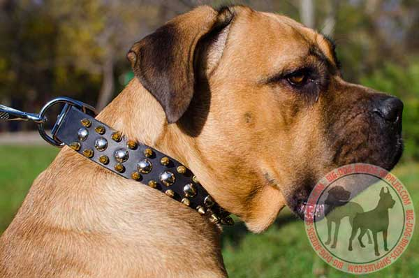 Cane Corso collar leather with buckle and D-ring