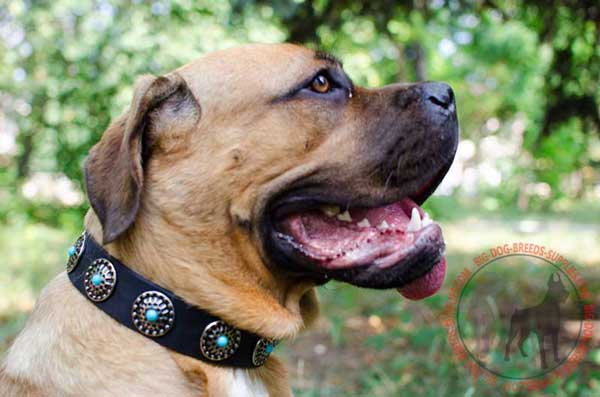 Leather Collar for Cane Corso Walking