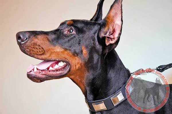 Elegant Doberman collar with decoration and hardware