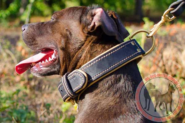 Pitbull Collar Leather with Plate for Keeping Fur in Safety