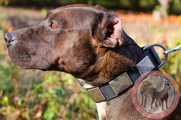 Leather Pitbull Collar with Nickel Plates