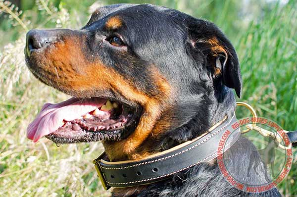 Rottweiler Collar Leather for Comfy Everyday Walking