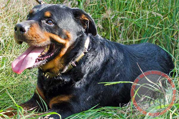 Collar for Rottweiler Walking