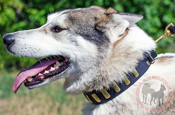 West Siberian Laika Collar Leather for Training and Walking Sessions