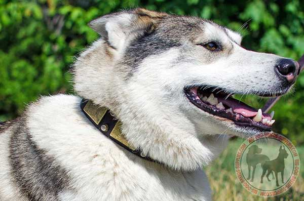 West Siberian Laika collar to make walking comfortable and pleasant