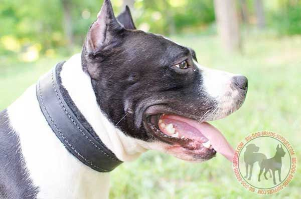 Amstaff Leather Canine Collar Helps the Dog Stay Comfy and Happy While Having it on