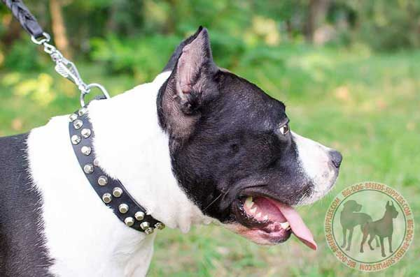 Dog Leather Dog Collar for Amstaff Standing Out of The Crowd