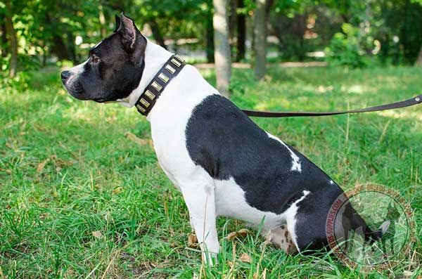 Plates Decorated Leather Dog Collar for Amstaff Walking