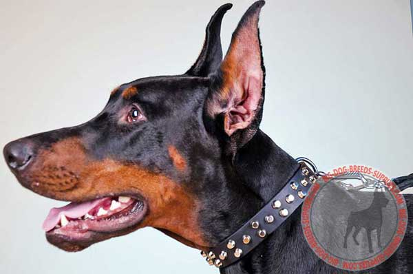 Leather doberman collar decorated with studs