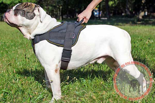 Nylon Equipment for American Bulldog