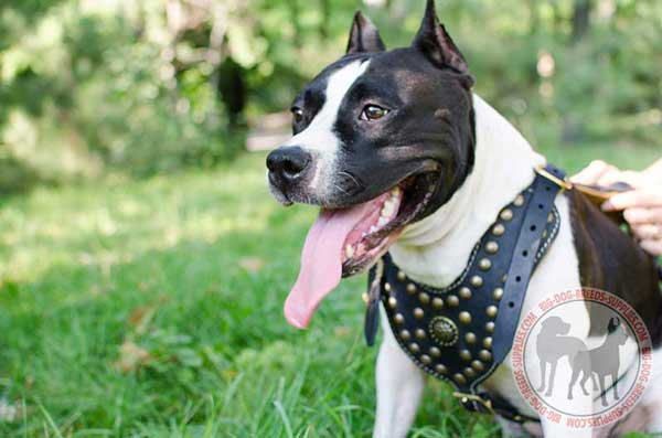 Amstaff harness leather long-servicing gear