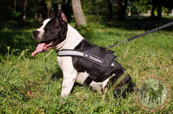 Nylon Harness for Amstaff Doing Professional Duties
