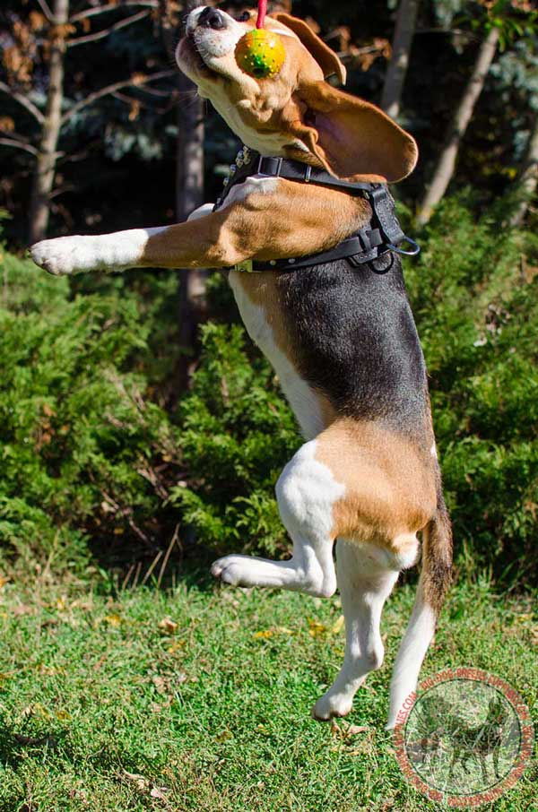 Lightweight Gear for Beagles and Small Breed Dogs