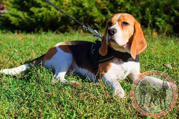 Strong Training Equipment for Beagles
