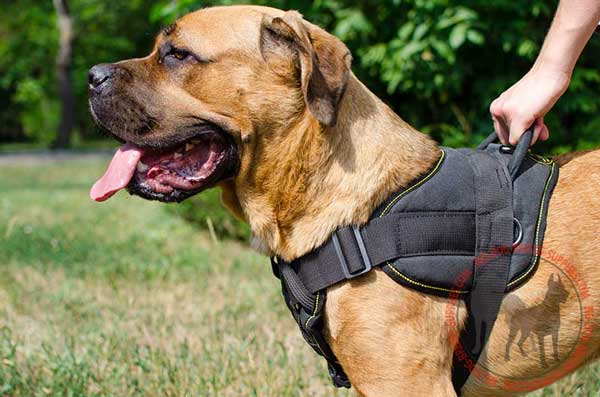 Nylon harness for Cane Corso amazing design