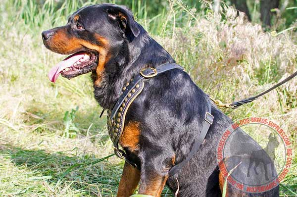 Rottweiler fashion Leather harness amazing design