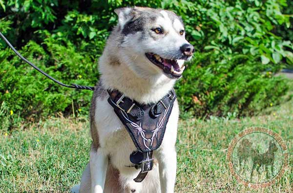 Leather harness for West Siberian Laika amazing design