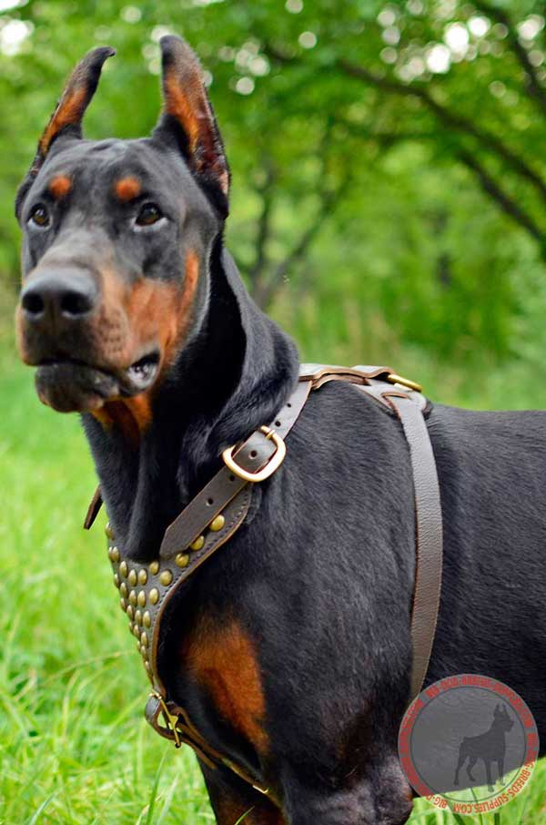 Leather Doberman Harness for Walking in Style
