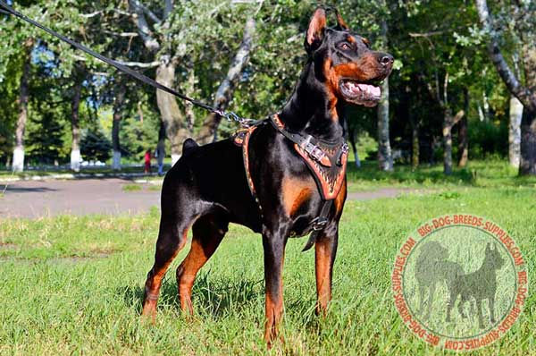 Leather Doberman Harness for Comfy Walking