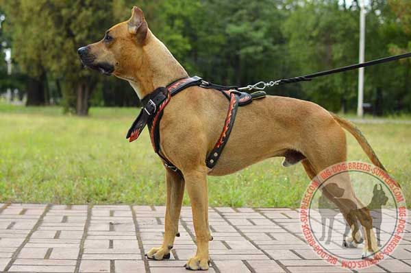 Leather Dog Harness for Pit Bull Looking Stylish