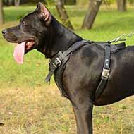 Padded Leather Pitbull Harness for Attack / Agitation Training